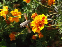 Hummingmoth hovering near the yellow&orange flower Royalty Free Stock Photography