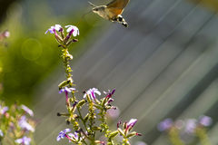 Hummingmoth (Macroglossum stellatarum). Hummingmoth, Hummingbird Hawk-moth (Macroglossum stellatarum Stock Photography