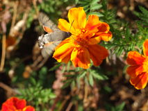 Hummingmoth with orange secondary-wings Stock Photo
