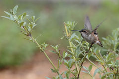 Hummiongbird Take-off Royalty Free Stock Photo