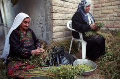 Hummus Harvest. BETHLEHEM, PALESTINIAN TERRITORIES - MAY 26: Elderly Palestinian Arab women help with the harvesting of hummus (chic peas or garbanzo beans), in Stock Photos