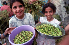 Hummus Harvest. BETHLEHEM, PALESTINIAN TERRITORIES - MAY 26: Palestinian Arab girls help with the harvesting of hummus (chic peas or garbanzo beans), in the Stock Photography