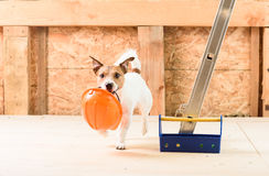 Humor concept of safety precaution at construction site. Dog fetching orange safety helmet Stock Photography