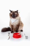 Humor Cute Balinese cat with blue eyes eating stock photo