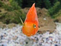 Humor del primer de la sonrisa de los pescados del oro en una cara Imagen de archivo