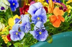 Humor, escaladas da flor do amor perfeito na pelve imagem de stock