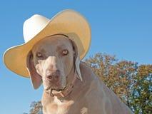 Humoristisch beeld van een hond Weimaraner met een cowboy h Stock Foto's