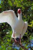 Humoristiskt posera för en vit ibis i Florida Arkivfoto