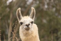 Humorous alert head shot of white smiling llama, alpaca has smile with teeth showing, ears up, kind eyes. Close up Royalty Free Stock Photo