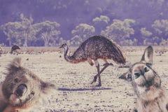 Humorous collage of Australian native animals. Humorous collage of Australian native animals - emu, koala, and kangaroo portraits stock photo