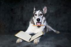 Humorous expression on a dog holding a pencil Royalty Free Stock Photography