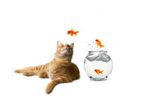 Humorous Image of Cat Watching. Funny Image of a Cat Watching Goldfish Escape Their Bowl Royalty Free Stock Photography