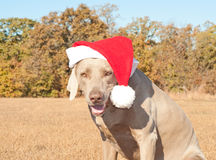 Humorous image of Santa's little canine helper. A Weimaraner dog dressed in a bright red santa hat stock images