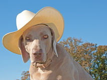 Humorous image of a Weimaraner dog with a cowboy h. At against clear blue skies Stock Photos