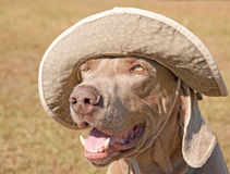 Humorous image of a Weimaraner dog wearing a hat royalty free stock photo