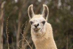 Humorous llama showing teeth, aggressive alpaca, evil smile with ears up close up head shot. Humorous llama showing teeth, aggressive alpaca, angry evil smile Royalty Free Stock Photos