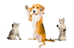 Humorous photo dog surrenders two attackers cats. Isolated on white background Stock Image
