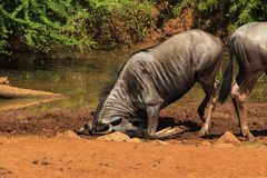 Humorous photo of a wildebeest with its head in the mud. Humorous photo of a wildebeest on its knees and rubbing its head in the mud stock photo
