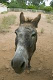 Humorous portrait of a donkey posing for the camera. Stock Image