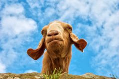 Humorous portrait of a goat Royalty Free Stock Photography