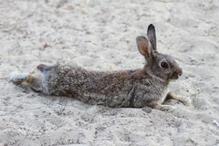 Humorous rabbit lying down to rest Royalty Free Stock Photography