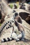 Humorous Ring-tailed lemur (Lemur catta). Ring-tailed lemur (Lemur catta). Group of lemur resting on the tree trunk. Animal theme Stock Photos