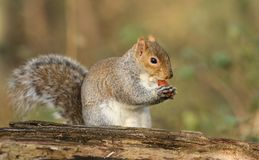 A humorous shot of a cute Grey Squirrel Scirius carolinensis eating an acorn sitting on a log. Stock Photos