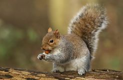A humorous shot of a cute Grey Squirrel Scirius carolinensis with a nut in its mouth sitting on a log. Royalty Free Stock Images