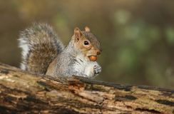 A humorous shot of a sweet Grey Squirrel Scirius carolinensis with an acorn in its mouth. A humorous shot of a cute Grey Squirrel Scirius carolinensis with an Royalty Free Stock Image