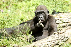 Humourous Gorilla Royalty Free Stock Photos