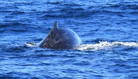 Hump Back Whale Stock Photos