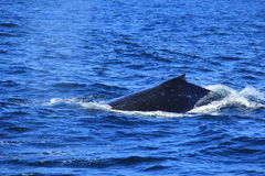 Hump Back Whale Royalty Free Stock Photos