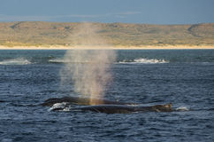 Hump back whales. Exmouth Western Australia hump back whales royalty free stock photos