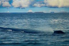 Hump-backed whale (Megaptera novaeangliae) sleeps royalty free stock photos