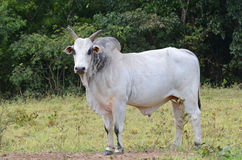 Hump backed Zebu Royalty Free Stock Photo
