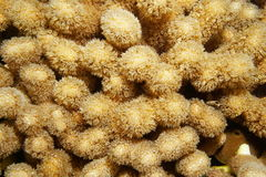 Hump coral or finger coral Porites porites Royalty Free Stock Images