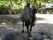 Hump Day. A camel posing for the crowds at the zoo Royalty Free Stock Photography