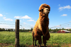 Hump Day. A posing camel, nice blue sky, green grass and red barn, even Wednesday can be beautiful Stock Photos