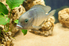 Hump-head fish in aquarium Royalty Free Stock Photography