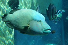 Hump-Headed Maori Wrasse #2 Stock Photos