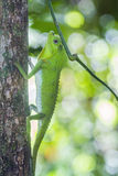 Hump-nosed Lizard in Sinharaja forest reserve, Sri Lanka royalty free stock photography