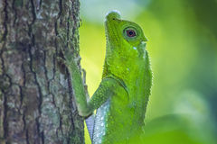 Hump-nosed Lizard in Sinharaja forest reserve, Sri Lanka stock photos