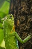 Hump nosed lizard on tree. From srilanka Royalty Free Stock Images