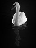 Hump Swan. A black & white image of a hump swan in water Royalty Free Stock Photos