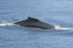 Humpaback Whale Showing its Dorsal Fin Royalty Free Stock Photos