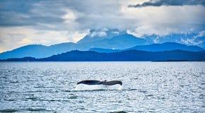 Humpack在泥海湾阿拉斯加的鲸鱼狩猎 库存照片