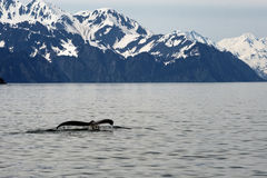Humpack Whale in Alaska. Scenic view of snow capped coastal mountain range with humpback whale tail breaching sea in foreground, Seward, Alaska, U.S.A stock image