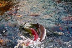 humpback łosoś i blueback w płytkich samiec obrazy stock