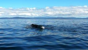 Humpback łydka i wieloryb zdjęcie wideo
