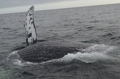 humpback δευτερεύουσα φάλαιν&al Στοκ Φωτογραφίες